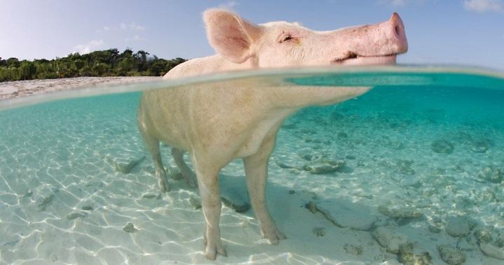 Una isla paradis aca habitada por cerdos nadadores en las - Banarse con delfines portugal ...