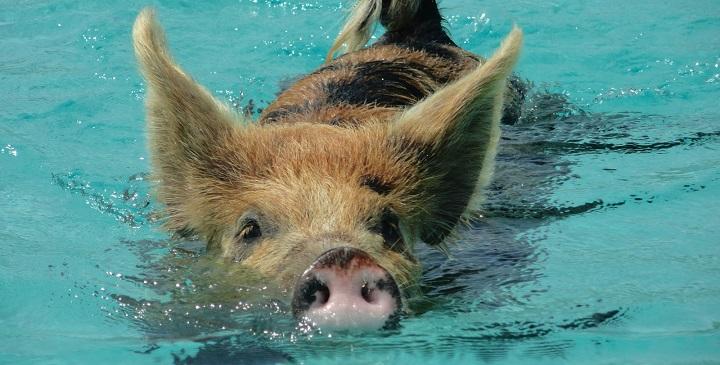 Bahamas cerdos1